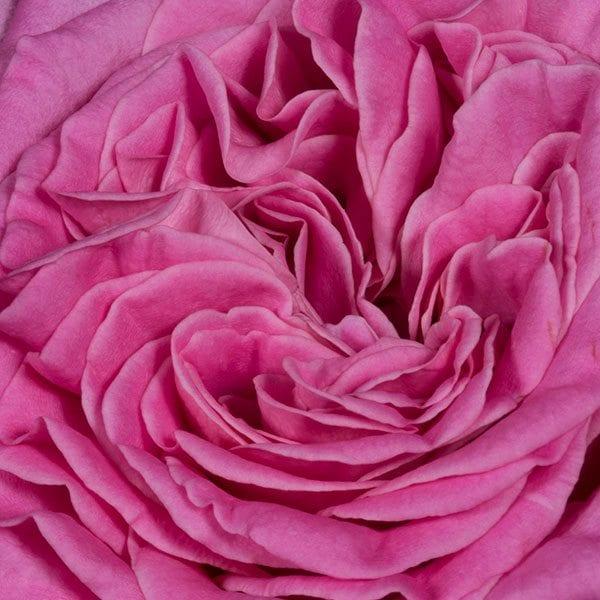 aboutflowers_valentineroseashley600