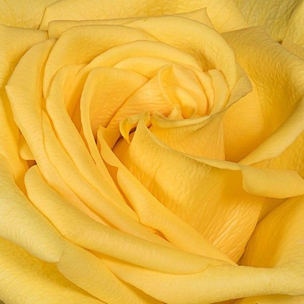 aboutflowers_valentineroseyellowcloseup600