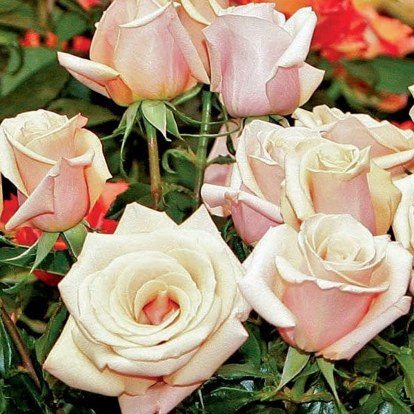 aboutflowers_valentine_roses_blush600
