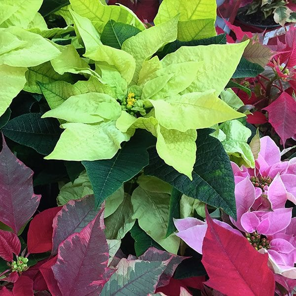 AboutFlowers_Plants_PoinsettiaMixed