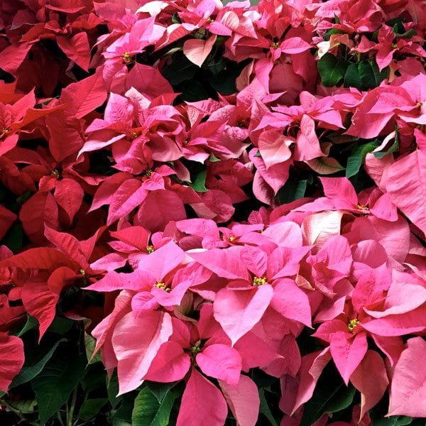 AboutFlowers_Plants_Poinsettia_RedPink