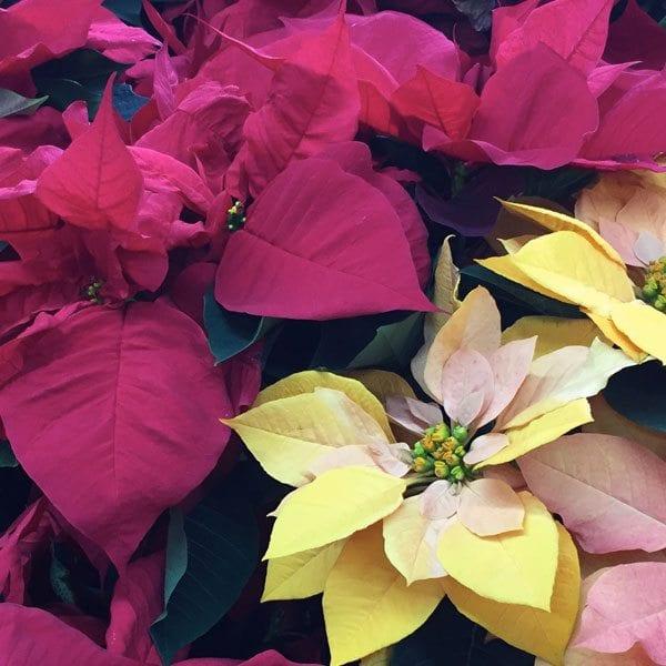 AboutFlowers_Plants_Poinsettia_RedYellow