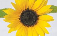 Give Customers a 'Floral Vitamin' Boost with Sunflowers
