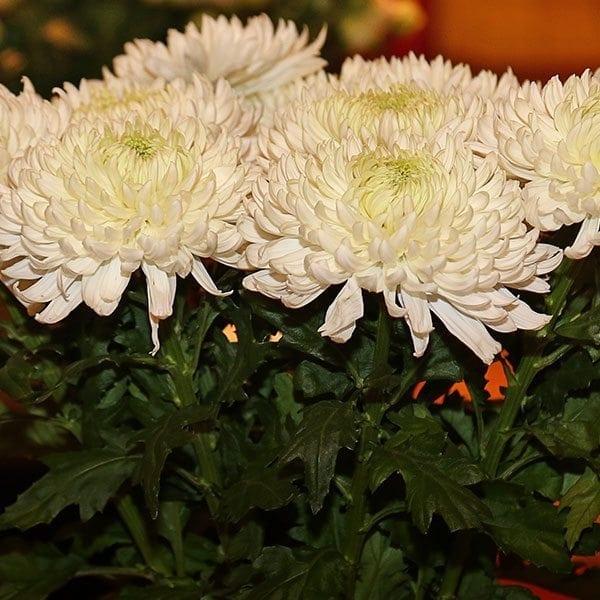 SAF OV 16 Best in Class - Chrysanthemum - Magnum Deliflor LatinAmerica