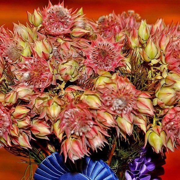 SAF OV 16 Best in Class - other cut flower - Serruria Serruria Blushing Resendiz Brothers Protea Growers