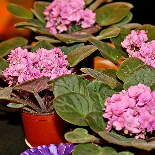 SAF OV 16 Best in Class - potted flowering plant - African Violet Ingrid Optimara Group