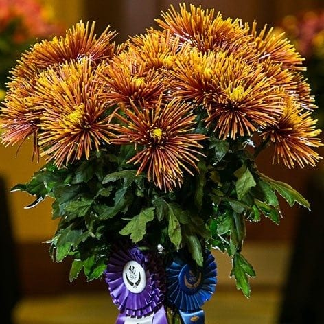 Best in Class: Chrysanthemum 'Chispa' Deliflor Latin America