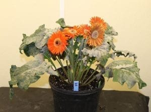 AFE Research Aims to Protect Gerbera From Powdery Mildew