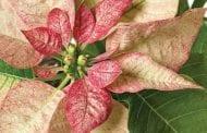 Poinsettia Care Tips