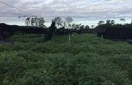 Hurricane Matthew Hits Florida Cut Foliage Industry Hard