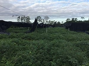 """All over northwest Volusia County in Florida, the fern business — which shells out $60 million to $70 million to the area's economy — was heavily impacted, including FernTrust Inc. in Seville (pictured). """"If we are lucky we may see a small fall crop if warm weather holds out, but that is not a given,"""" said said Jana Register, director of sales and marketing."""