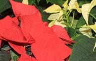 Give Poinsettia Flier and Brochure to Customers