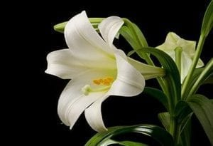 Remind customers to keep cats away from Easter lilies.