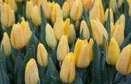 Tulip Mania: A Story of Passion and Risk